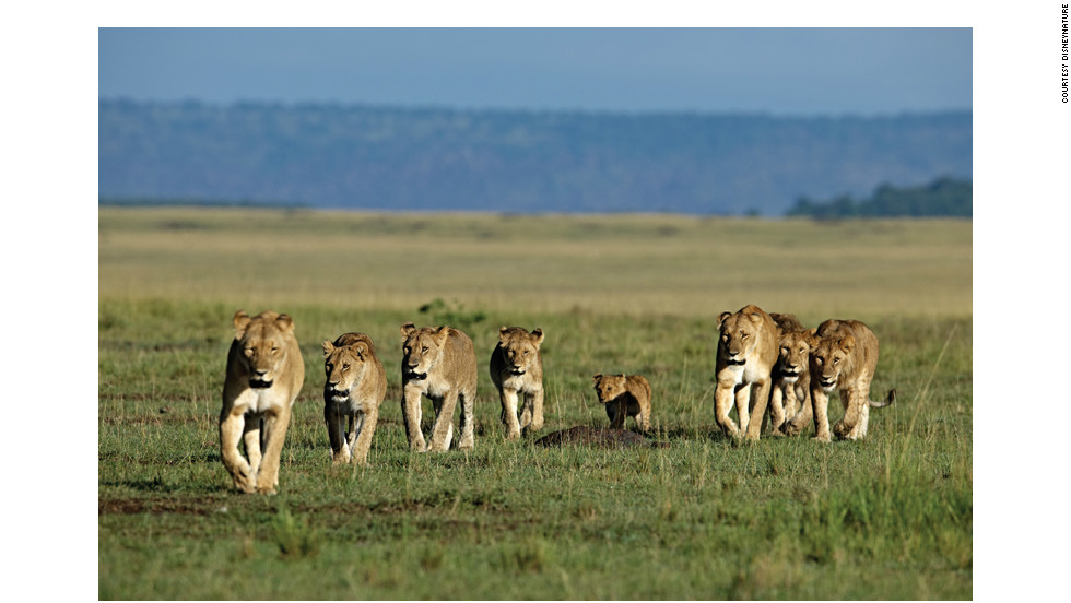 A pride of lions on the move. Food is shared out hierarchically within the pride, with adult males eating first, females second and the cubs taking the leftovers. Males are typically only able to maintain their dominance over a pride for two to three years, before being replaced by a rival.