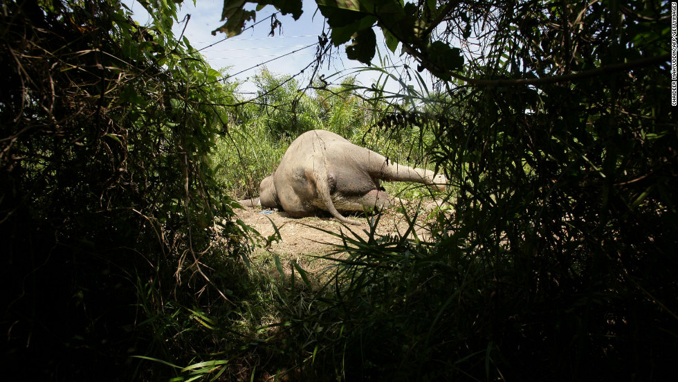 The body of this rare Sumatran elephant was found Tuesday near a palm oil plantation in Aceh Jaya, Indonesia. The population of animals has halved in Indonesia since 1985, according to the World Wildlife Federation.