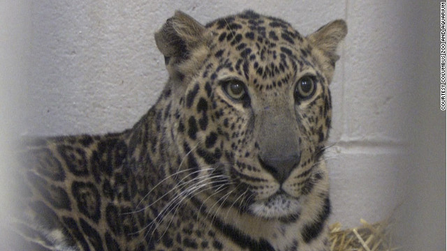 This spotted leopard is among the animals the Columbus Zoo and Aquarium will return to a farm in Zanesville, Ohio.