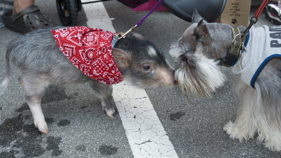 Wilbur the pot-bellied piglet gets snout to snout with Fitz the toy schnauzer before the Chihuahua Parade in Kansas City, Missouri, on Saturday, May 5.  The Cinco de Mayo event drew drew 492 dogs of all breeds.