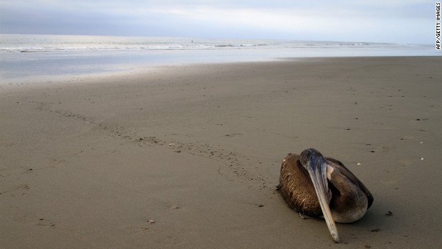 A dying pelican crawls away from the surf to die on the beach of Paita, Peru,close to the border with Ecuador on May 2, 2012.