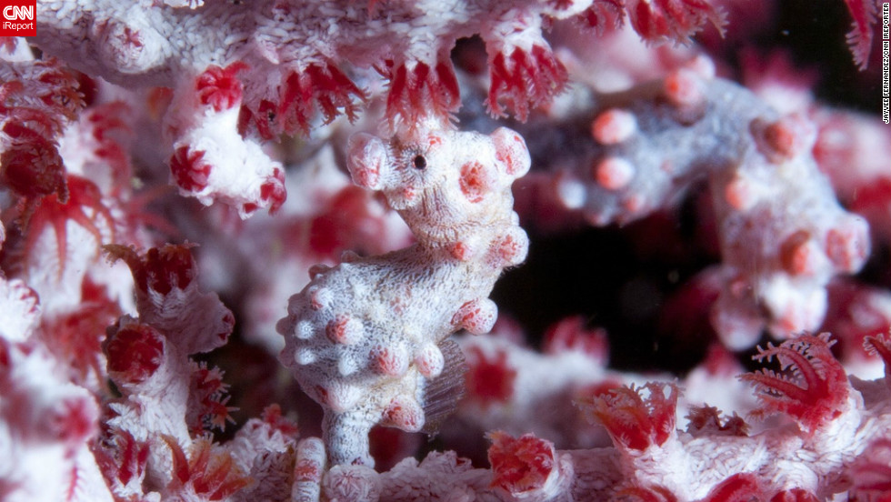 "Located near Manila, the seaside town of Anilao offers divers a weekend getaway.  Underwater photography enthuasiast and iReporter Jayvee Fernandez described the pygmy seahorse as a ""fascinating creature...as small as half a grain of rice"" that resembles the fan corals it resides among."