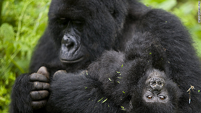 About half of the world's mountain gorillas live in Africa's Virunga Mountains.