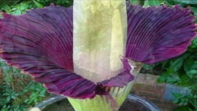 Hawaiians wait for 'corpse flower' bloom