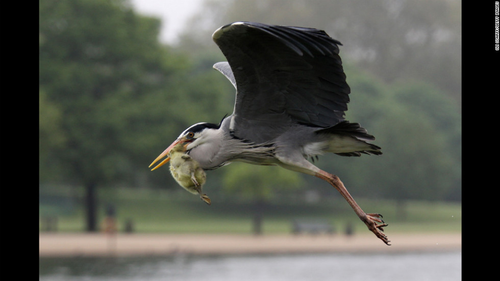 A heron flies with a gosling in its beak before eating it in London's Hyde Park on Tuesday.
