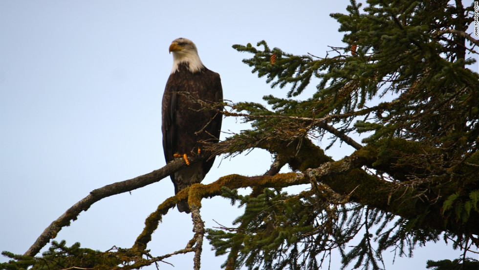 Bald eagles are part of the delicate ecosystem in Yakutat, and their habitat may be affected by the trash and chemicals reaching Alaska's southeastern shores.