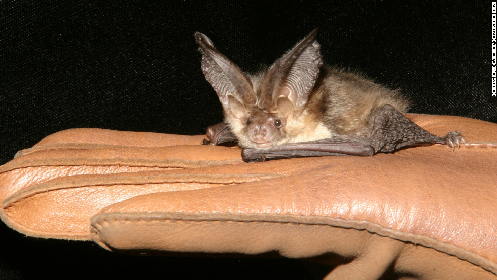 A Brown Long Eared Bat Is One Of The Species Conservation Trust