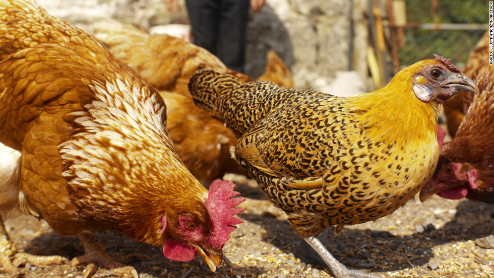 Don't kiss your chickens, the CDC says. Please don't