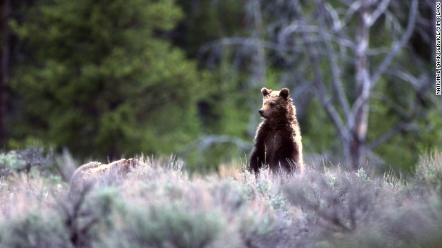 The Grizzly bear population within Yellowstone is estimated around 700 bears.