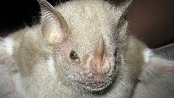 "Native to Puerto Rico, the Virgin Islands and the United States, the red fruit bat is classified as ""vulnerable"" by the IUCN due to ""ongoing population reduction"" and because of its ""small geographical range."" Bats and birds both help control insect populations, which may otherwise destroy agricultural crops."
