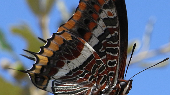 The two-tailed pasha can be found in southern Europe and is less at risk than some other European butterfly species. Of Europe