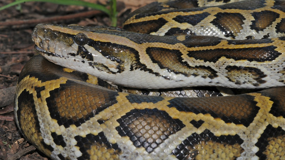 "Trade and overexploitation for food and skins has made this species ""vulnerable,"" according to the IUCN. Ten percent of snakes endemic to China and Southeast Asia are threatened with extinction."