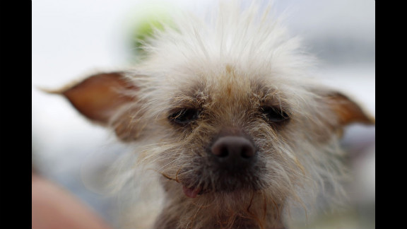 Josie, a 3-year-old Chinese crested, takes part in the 24th annual World