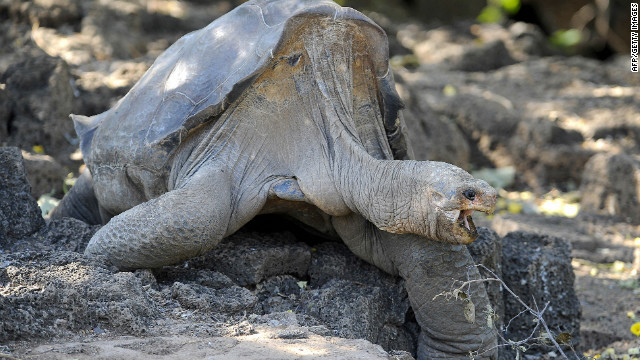 Lonesome George was the last known individual of the Pinta Island species of giant tortoise.