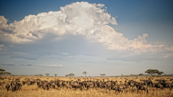 We love the wildebeest migration, which traverses the major nature parks in Kenya and Tanzania throughout the year, and so do the lions.