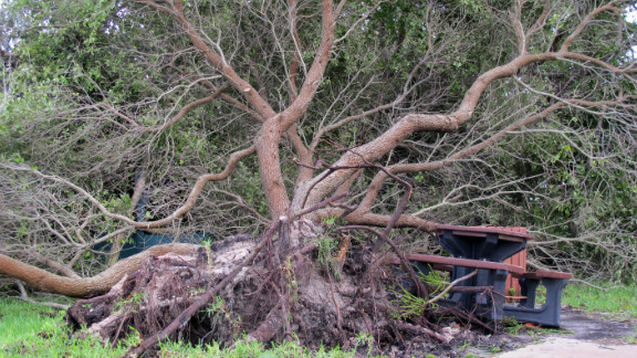 A tree is seen uprooted by the winds of the storm.