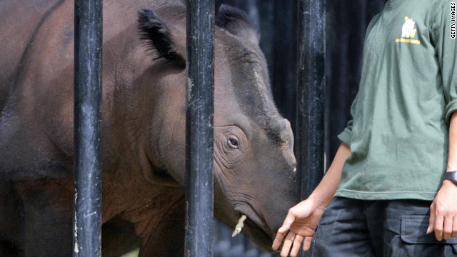 A worker at the rhino sanctuary in Indonesia's Way Kambas National Park feeds a Sumatran rhino.