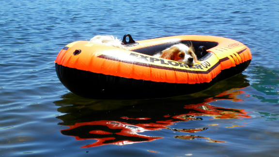 Dexter, a Cavalier King Charles spaniel, decides it's too hot even to swim in Constant Lake in Ontario, Canada.
