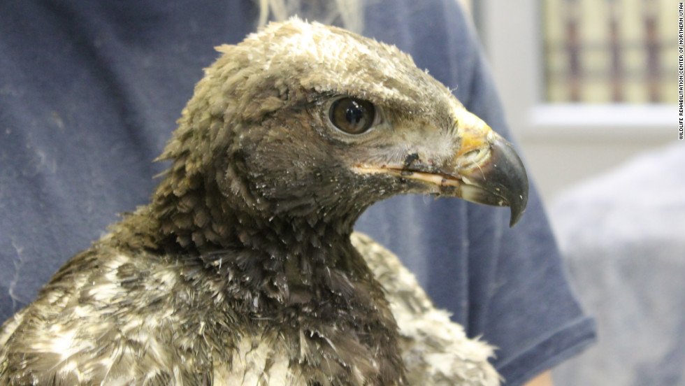 This young golden eagle, nicknamed Phoenix, is being cared for after suffering burns from a wildfire south of Salt Lake City in late June.