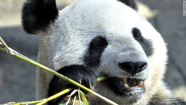 Shin Shin, a giant panda at Ueno Zoo, conceived the cub naturally, a rare feat among pandas in captivity