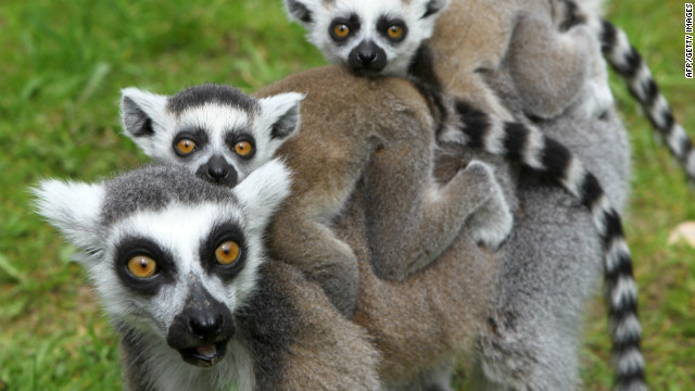 Experts met in Madagascar this week to discuss the future of lemurs. The lemurs above live at a German zoo.