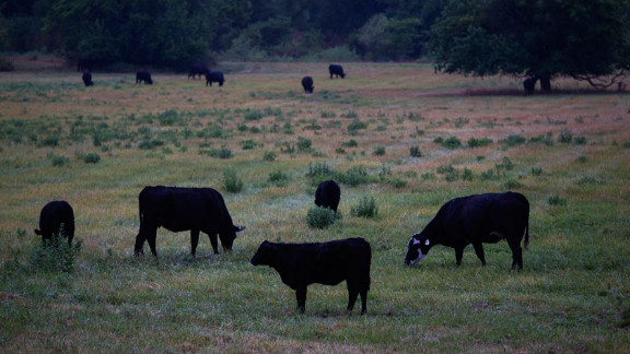 Cattle graze in a field on July 13 near Paris, Missouri. Many ranchers are rushing to sell off their herds as hay supplies dwindle and feed prices soar.