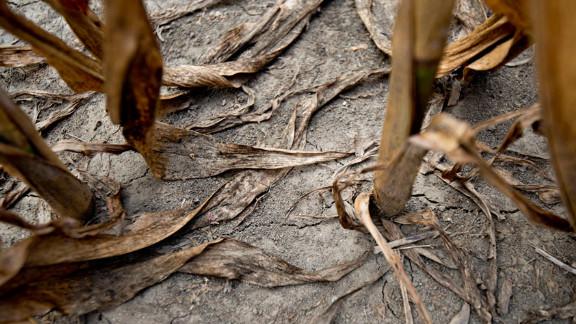 Brown corn stalks stand in a drought-stricken field on July 11 in Carmi, Illinois.