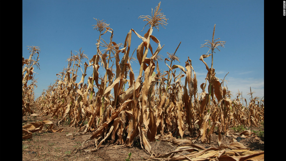 Corn stalks struggle to survive in a drought-stricken farm field on Thursday, July 19, near Oakton, Indiana. The corn and soybean belt in the middle of the nation is experiencing one of the worst droughts in more than five decades.
