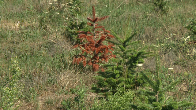 Drought killing future Christmas trees