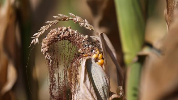 The extended drought has cuased corn crops to suffer, driving up the price.
