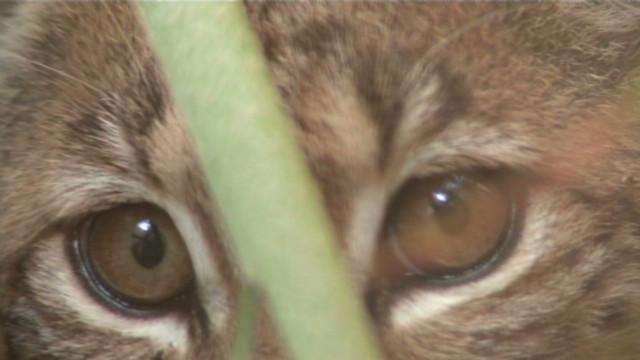 Bobcat serangan pasangan tua di Florida saat mereka berjalan-jalan pagi
