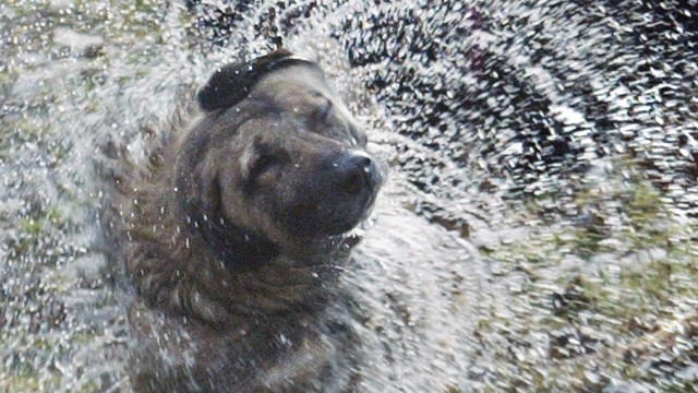 A dog shakes his wet fur after jumping into water trying to catch wild ducks.