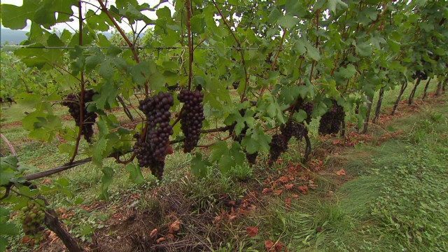 Winemakers reap benefits from drought