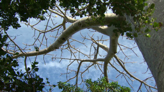 Six out of the eight species of the baobab tree are endemic to Madagascar. The tree's trunk could reach a diameter of nine meters and a height of 18 meters.