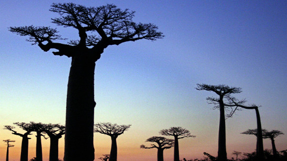 The spectacular baobab trees are a landmark of Madagascar, a large island located off the southeastern African coast.