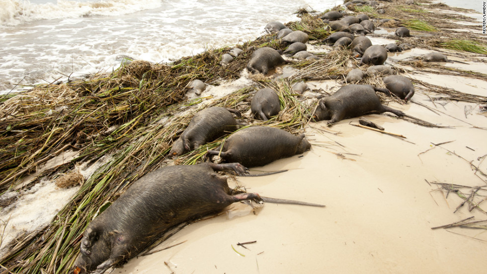 Dead nutria lie on the shore near Waveland, Mississippi, on Friday.