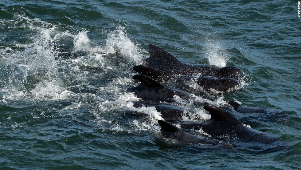 A group of whales near the coast of Pittenweem is herded into deeper water.
