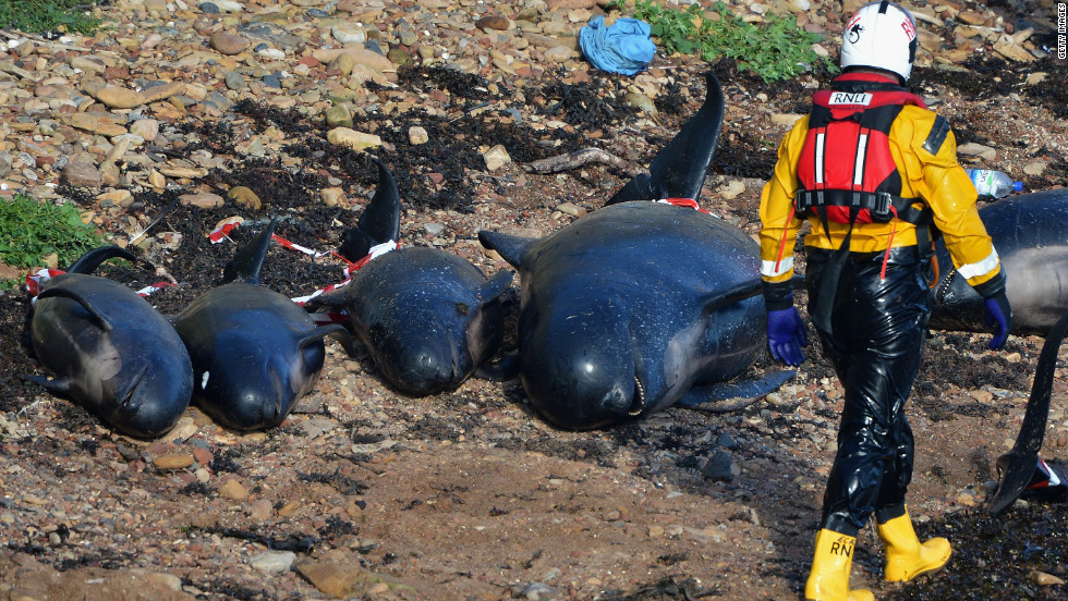 Emergency service personnel walk near beached whales that could not be saved.
