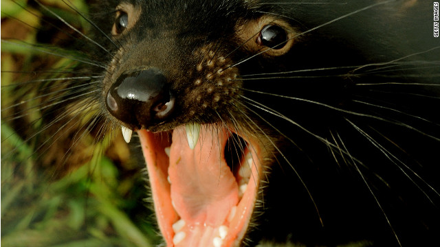 Tasmanian Devils' best hope for survival could rest on being less ferocious