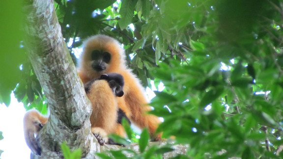 Found on Hainan island, China, conservationists believe less than 20 mature Hainan gibbons are still alive. Hunting has been the main reason for their perilous status as critically endangered.
