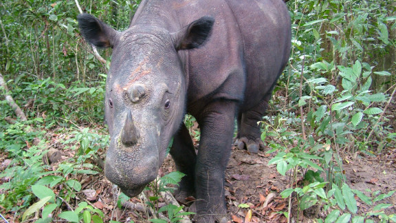 Less than 250 Sumatran rhino exist in the wild and can be found in decreasing locations across Indonesia and Malaysia.