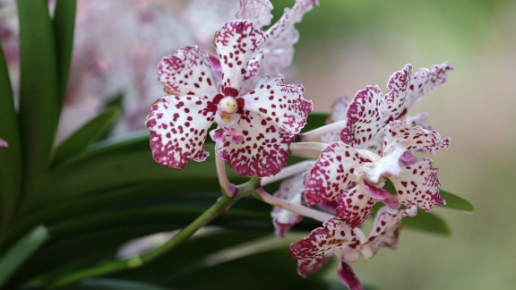 """""""Vanda William Catherine"""" orchid is the latest in a long line of orchids named for foreign dignitaries and celebrities by officials in Singapore."""