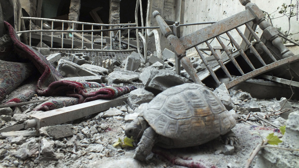 An abandoned pet tortoise walks on the debris of a damaged house in the neighborhood of old Homs on Sunday.