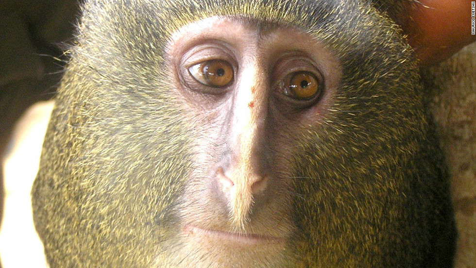 The Lesula, or Cercopithecus lomamiensis, is the first new species of monkey found in 28 years.