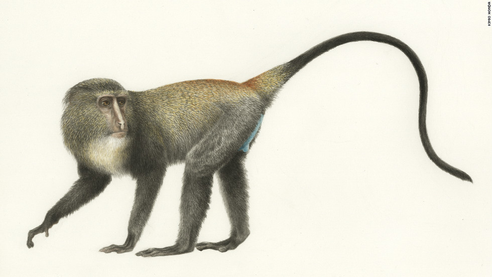 An illustration of the new Lesula monkey. Biologists have traditionally drawn new finds.