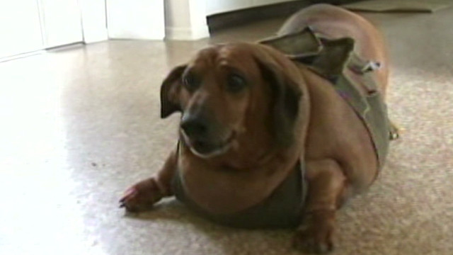 77-pound wiener dog can barely move