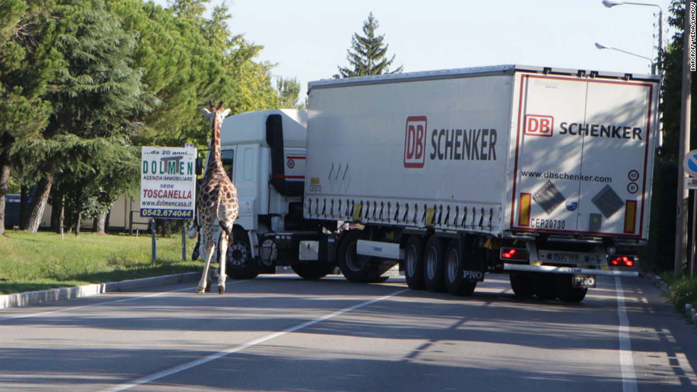 Traffic in Imola grinds to a halt with the giraffe on the loose.