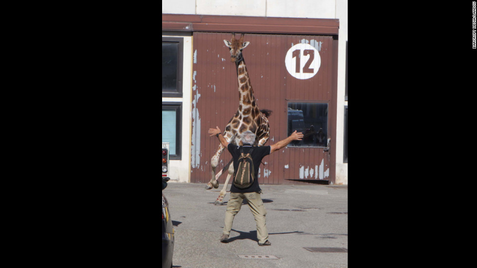 The giraffe startles a passer-by on the street.