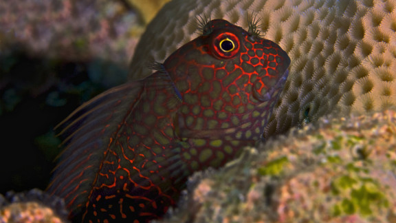 A blenny fish in Holmes Reef, part of the Great Barrier Reef