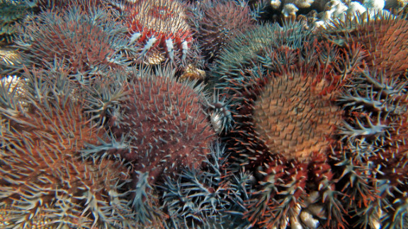 The problem on the Great Barrier Reef, the report says, is that it's facing other threats that are hindering its ability to recover from cyclones, most notably the rampant starfish.